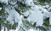 Pine branch under snow — Stock Photo
