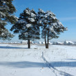 Stock Photo: Snowy pine trees in field
