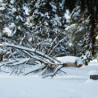 Sawed tree under snow in winter forest — Stock Photo