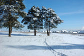 Snowy pine trees in the field — Stock Photo