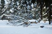 Sågade träd under snön i vinter skog — Stockfoto