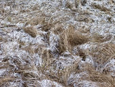 Dry grass with snow — Stock Photo