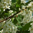 Blooming tree with ladybird - Stock Photo