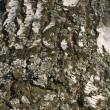 Birch bark texture — Stock Photo #1429772