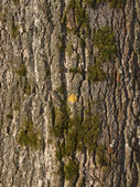 Old tree bark with lichen — Stock Photo
