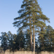 Stock Photo: Double pine tree in winter forest