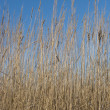 Stock Photo: Dry grass on blue sky background