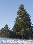Tannen im winterwald — Stockfoto