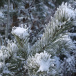 Branch of pine tree with snow — Stock Photo