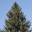 Stock Photo: Top of fir tree