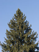 Top of fir tree — Stock fotografie
