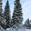 Snow covered fir trees in forest - Stock Photo