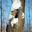 Tree trunk with hollow in winter - Stock Photo