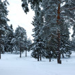 Coniferous forest in winter — Stock Photo #1455705