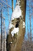 Tronc d'arbre creux en hiver — Photo
