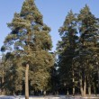 Pine trees in winter forest - Stock Photo