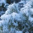 Branch of pine tree under snow - Stock Photo