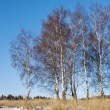 Birches in winter - Stock Photo