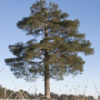Single pine tree — Stock Photo #1488219
