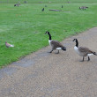 Two Canada Goose — Stock Photo