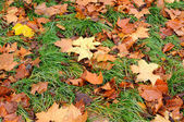 Maple leaves in green lawn — Stock Photo