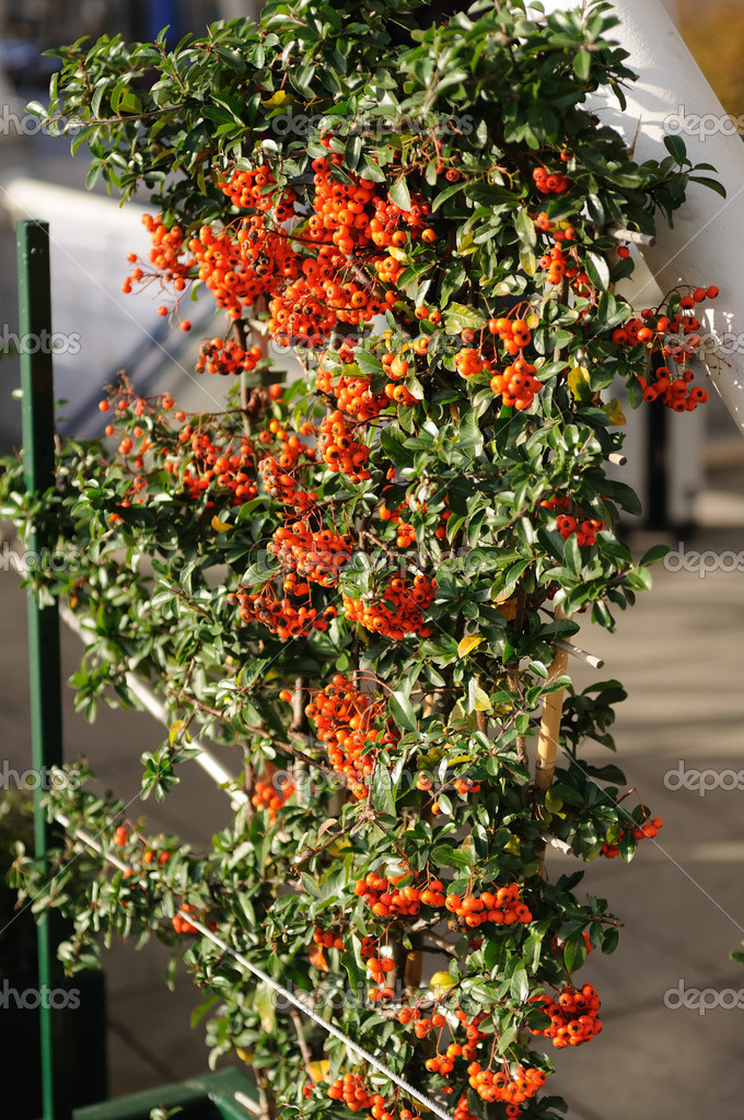 Decorative rowan tree in sunlight — Stock Photo #1592149