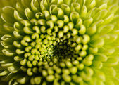 Macro photo of green dahlia — Stock Photo