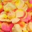 Yellow and pink rose petals - Stock Photo