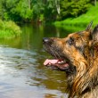 Royalty-Free Stock Photo: Wet shepherd