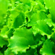 Foto de Stock  : Fresh lettuce