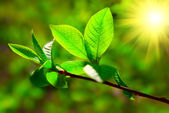 Fresh spring branch — Stockfoto