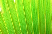 Palm gebladerte — Stockfoto