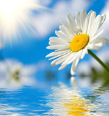 Sunny daisy — Stock Photo