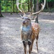 Spotted deer male — Stock Photo