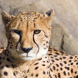 Cheetah — Stock Photo #1115932