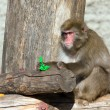 Japanese macaque — Stockfoto #1116010