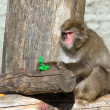 Stock Photo: Japanese macaque