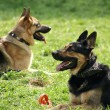 German sheep-dogs - Stock Photo