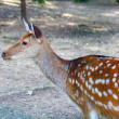 Spotted deer female — Stock Photo