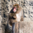 Japanese macaque — Stockfoto #1119551