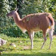 Guanaco — Stock Photo #1119583