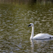 White swan — Stock Photo #1119600