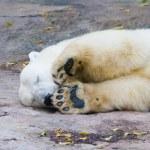 ijsbeer — Stockfoto