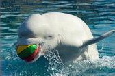 白鲸 — 图库照片