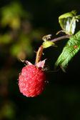 Raspberry — Foto Stock