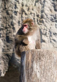 Japanese macaque — 图库照片
