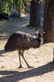 Emu living in territory of a zoo — Stock Photo