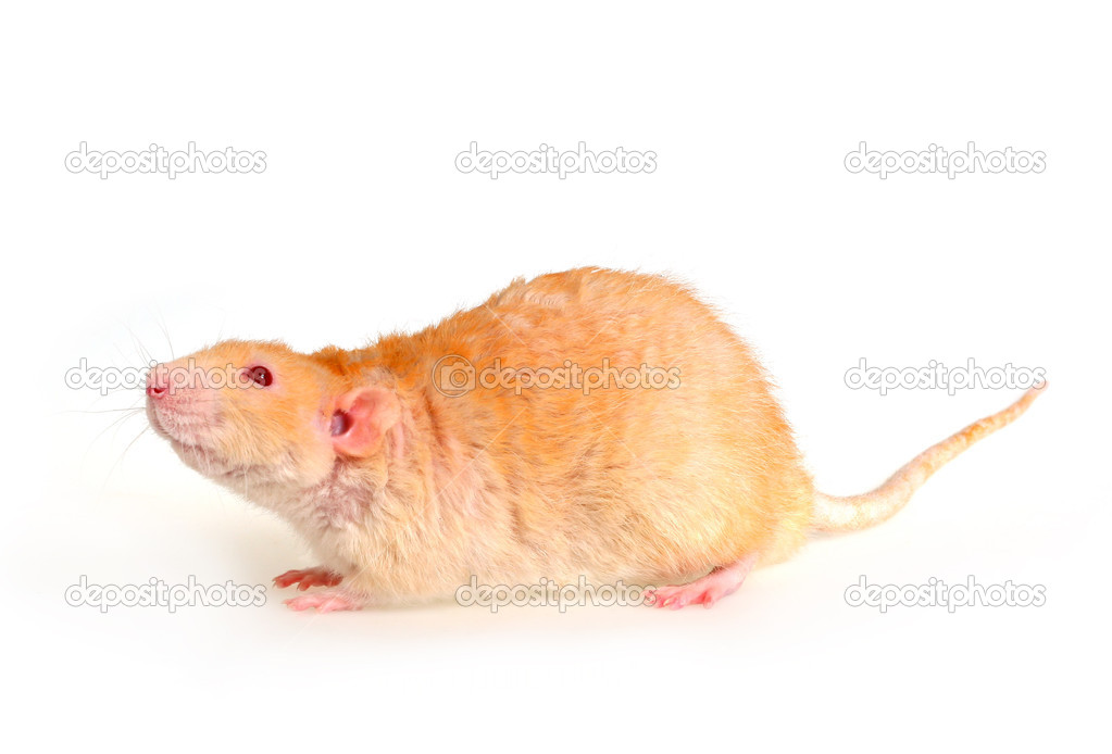 Pet a rat on a white background — Stock Photo #1116558