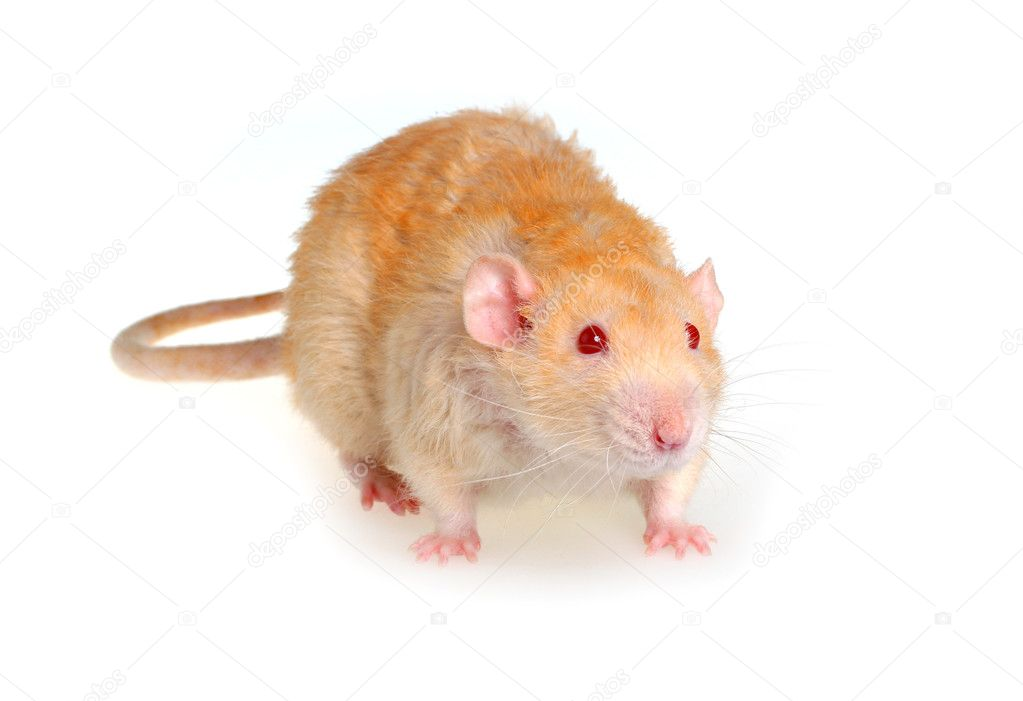 Pet a rat on a white background — Stock Photo #1116561