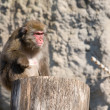 Japanese macaque — Stock Photo #1120106